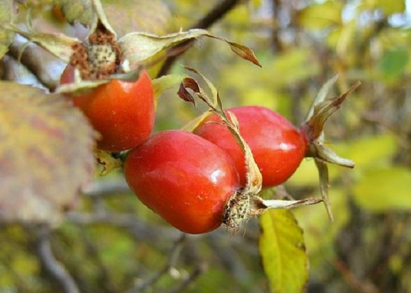 Fruto de rosa mosqueta